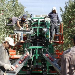 Cosecha de Manzanas con Máquina